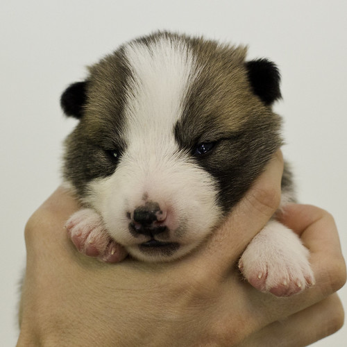 Anya-Litter1-10Days-Puppy4(Female)a