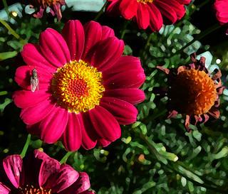 Red Marguerite