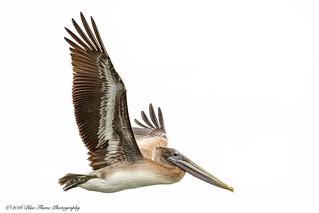 Brown Pelican (Juvenile / Atlantic / banded) ©
