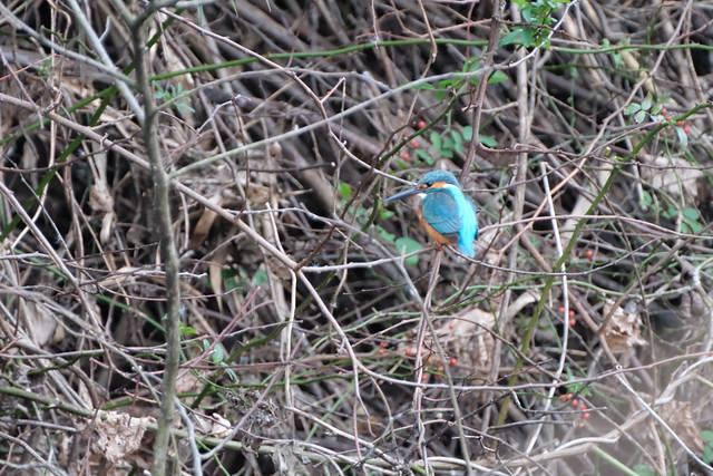 野鳥 [舞岡公園] : カワセミちゃん (2)
