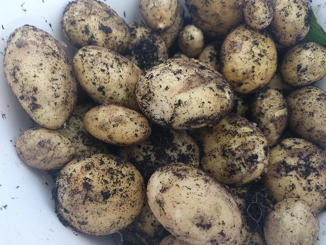 potato planting in Back garden by alittleheadache