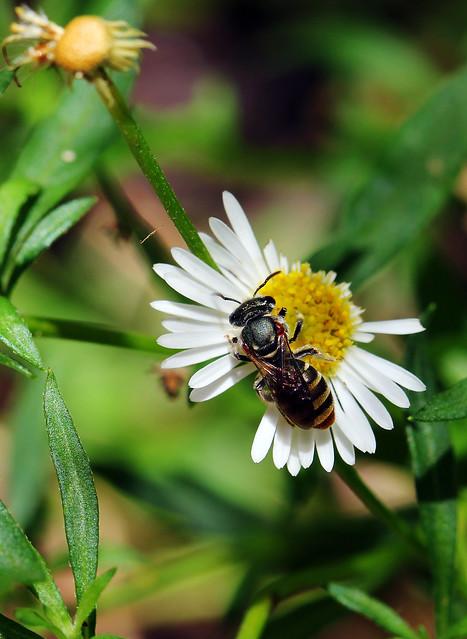 Halicitid Bee on a tiny daisy
