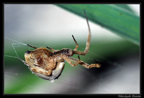 Uloborus walckenaerius