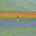La fioritura a Castelluccio by Massimo Greco _Foligno (>750,000 views. Thanks)