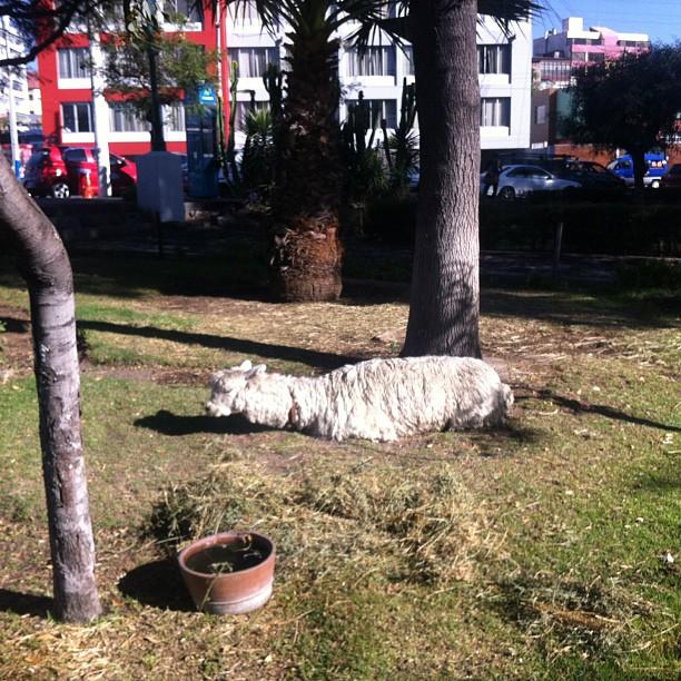 Alpaca in Arequipa, pretending to be caterpillar
