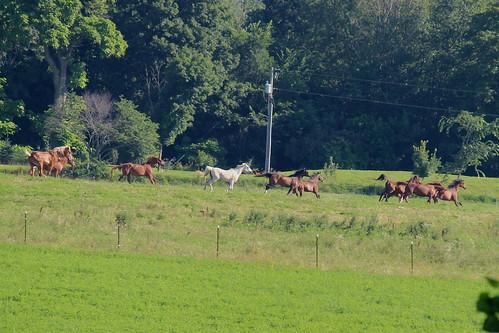 IMG_0515a_Amish_Horses_Running