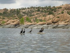 cormorant convention