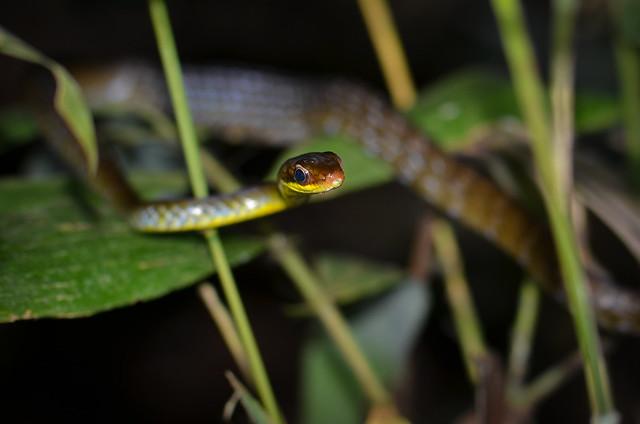 Serpiente arborícola