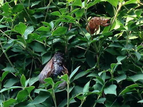 羽を乾かすセミ