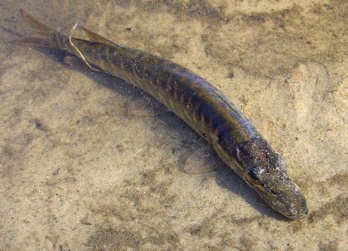 濕地的水被排掉前,梭魚和其他魚類會在淹水的多草地區產卵。(攝影:Sergey Yeliseev)。