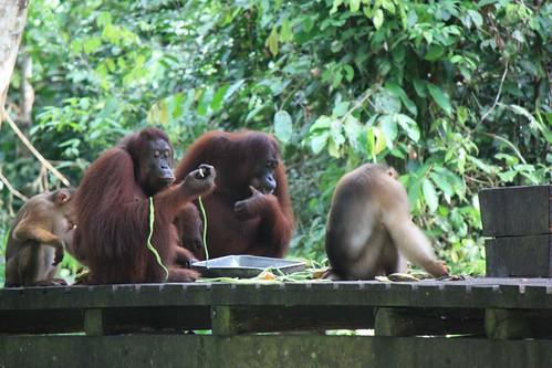 orangutans feasting