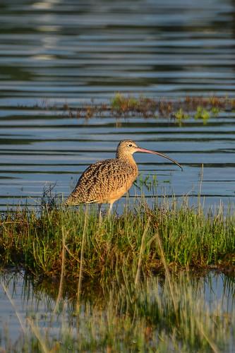 <p><i>Numenius americanus</i>, Scolopacidae<br /> Blackie Spit, Surrey, British Columbia, Canada<br /> Nikon D5100, 70-300 mm f/4.5-5.6<br /> September 1, 2013</p>
