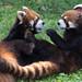 緑の中で戯れる - Playing red pandas -