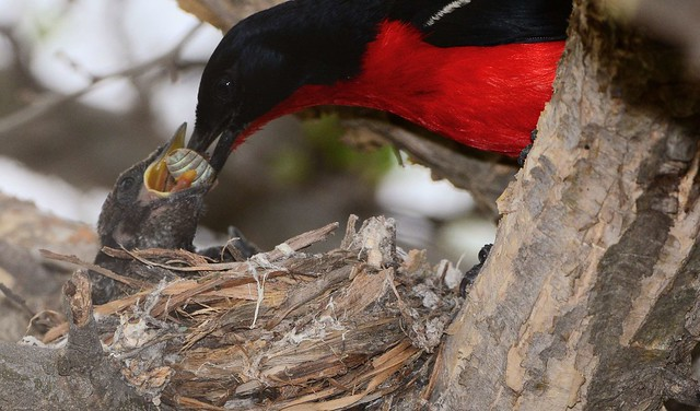 Black Cuckoo chick being fed by a Crimson-breasted shrike
