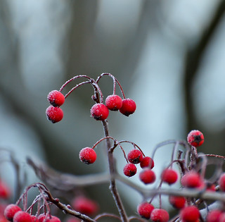 Winter Red.