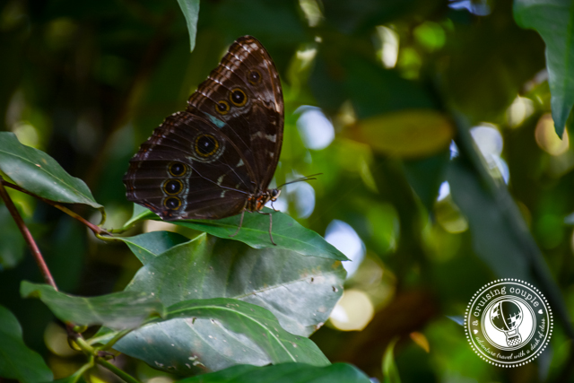 Blue Morpho Butterfly Cahuita National Park