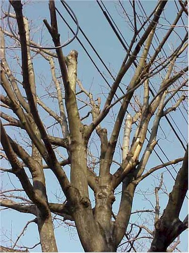 Image of Tree in Powerlines