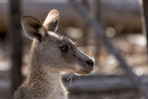 Kangaroo 2013-12-30 (_MG_3145)