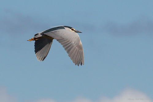 Black-crowned night heron in flight by andiwolfe