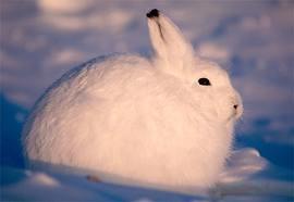 ホッキョクウサギの立ち姿が予想外すぎて面白い!!見た人「コレジャナイ…」
