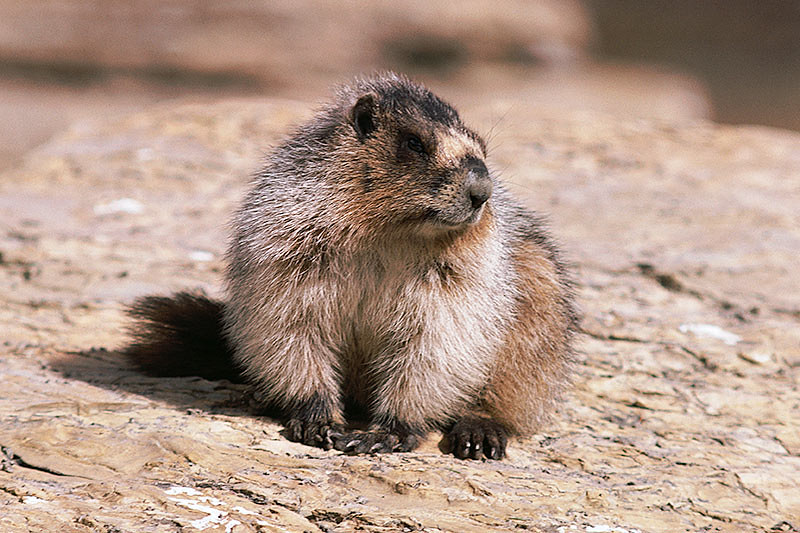 Wildlife in British Columbia, Canada: Hoary Marmot
