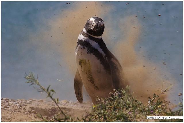 Pingüino de Magallanes