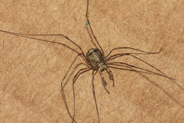 Dicranopalpus ramosus 20289