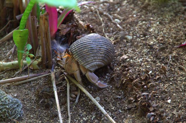 Hermit Crab, Rarotonga, Cook Islands