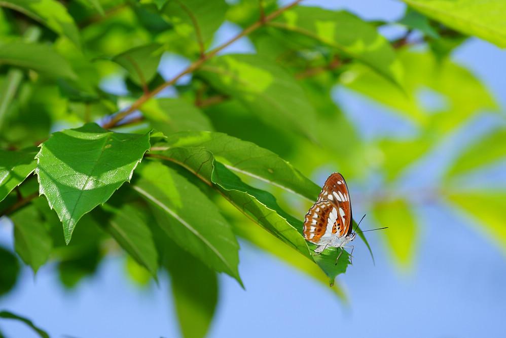 線蛺蝶屬殘眉線蛺蝶14S102