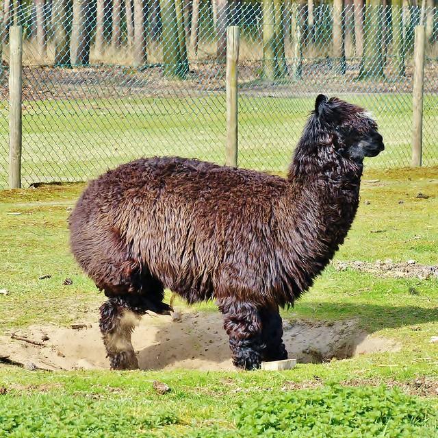 Alpaca bos en wildpark molenheide flickr photo sharing for Alpaca view farm cuisine