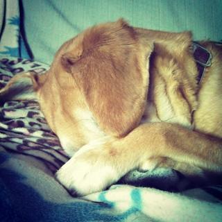 Sophie and I feel the same way about Mondays... #dogstagram #houndmix #rescued #love #sleepy #talktothepaw #dogs #instadog #adoptdontshop