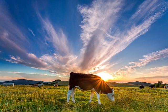 sunset cow ;-)