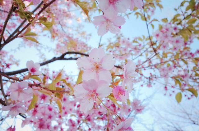 河津櫻 河津桜 Kawazuzakura