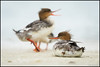 Common Mergansers @ Fort Desoto Florida