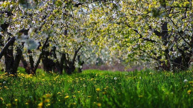 Under the apple trees., Pentax K-5, Tamron SP AF 90mm F2.8 (172E)