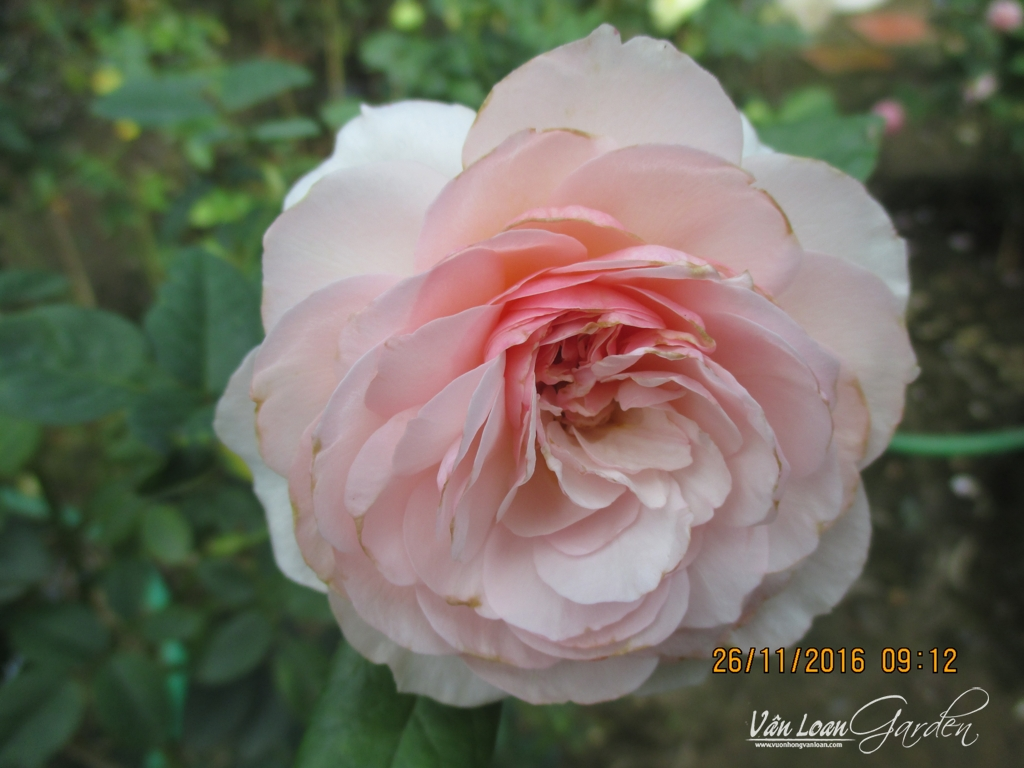 gentle hermione rose (3)-vuonhongvanloan.com