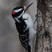 Male Hairy Woodpecker (Picoides villosus) by Don Delaney