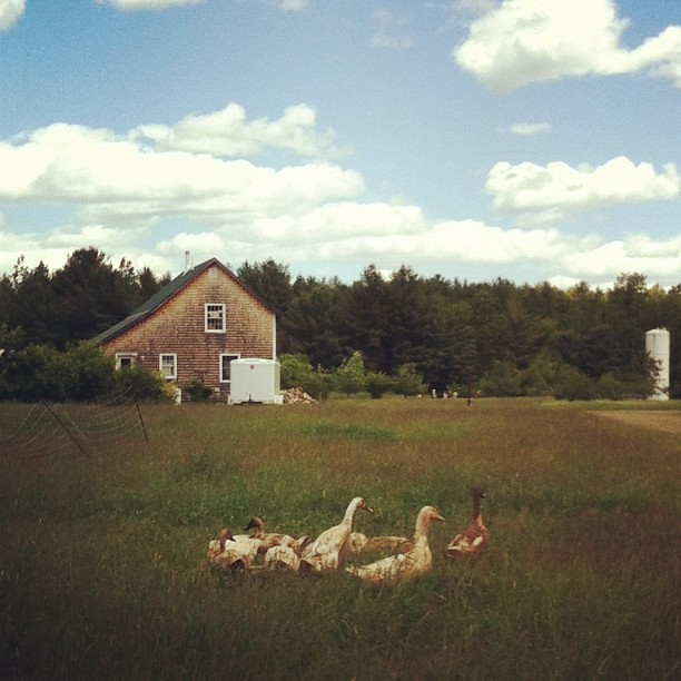 hello, ducks #mofga #farm #maine