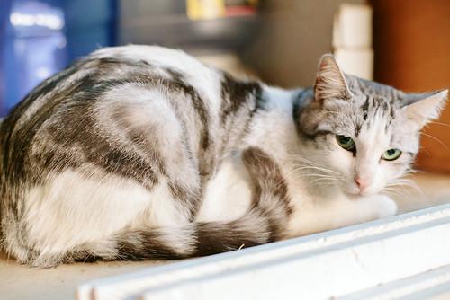 Axel, mimoso gatito blanco y tabby gris azulado, ojazos verdes, sano y esterilizado de 2 años en adopción. Valencia 9140509957_d69b8773e8