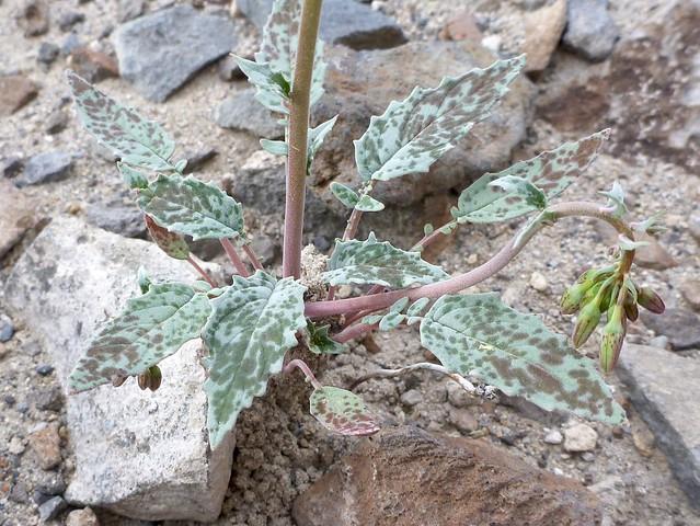 lancifolia