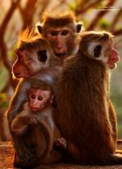 Monkey Family Love at Sunset