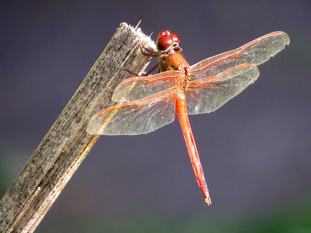Golden-winged-Skimmer