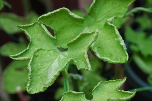 Ipomoea nil Q0962 Plant 1 by Gerris2