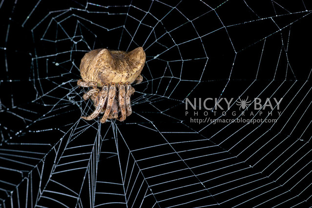 Tree Stump Orb Weaver (Poltys sp.) - DSC_9694