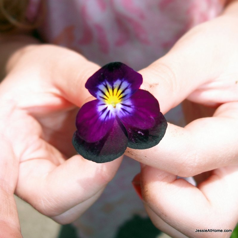 Pretty-Purple-Pansy