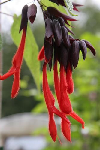 Salvia dombeyi