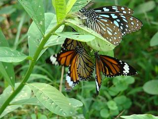 096 Dark Blue Tiger  en Common tiger