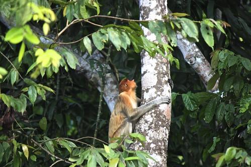 proboscis monkey climbing a tree
