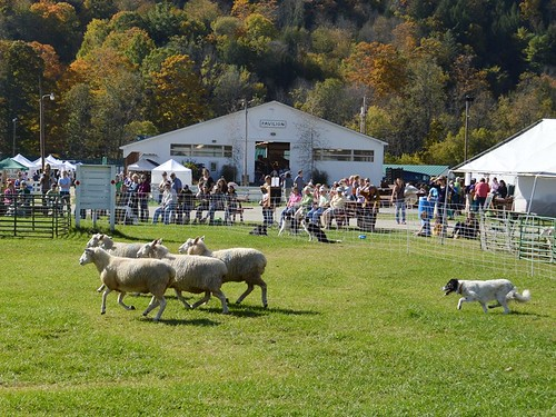 sheepdog demo