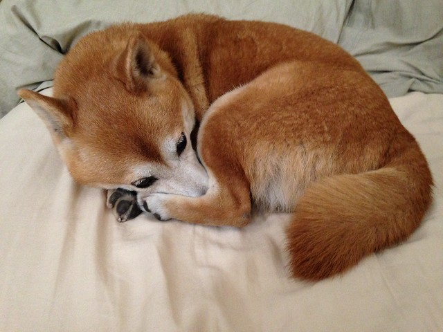 Kiyomi Shiba Curled Up Looks Very Much Like A Fox